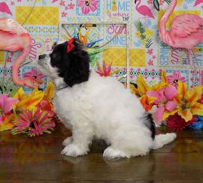 Teddy Bear Puppies for Sale - Sparks